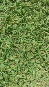 Spansk gräsmatta
