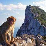 Apor på Gibraltarklippan